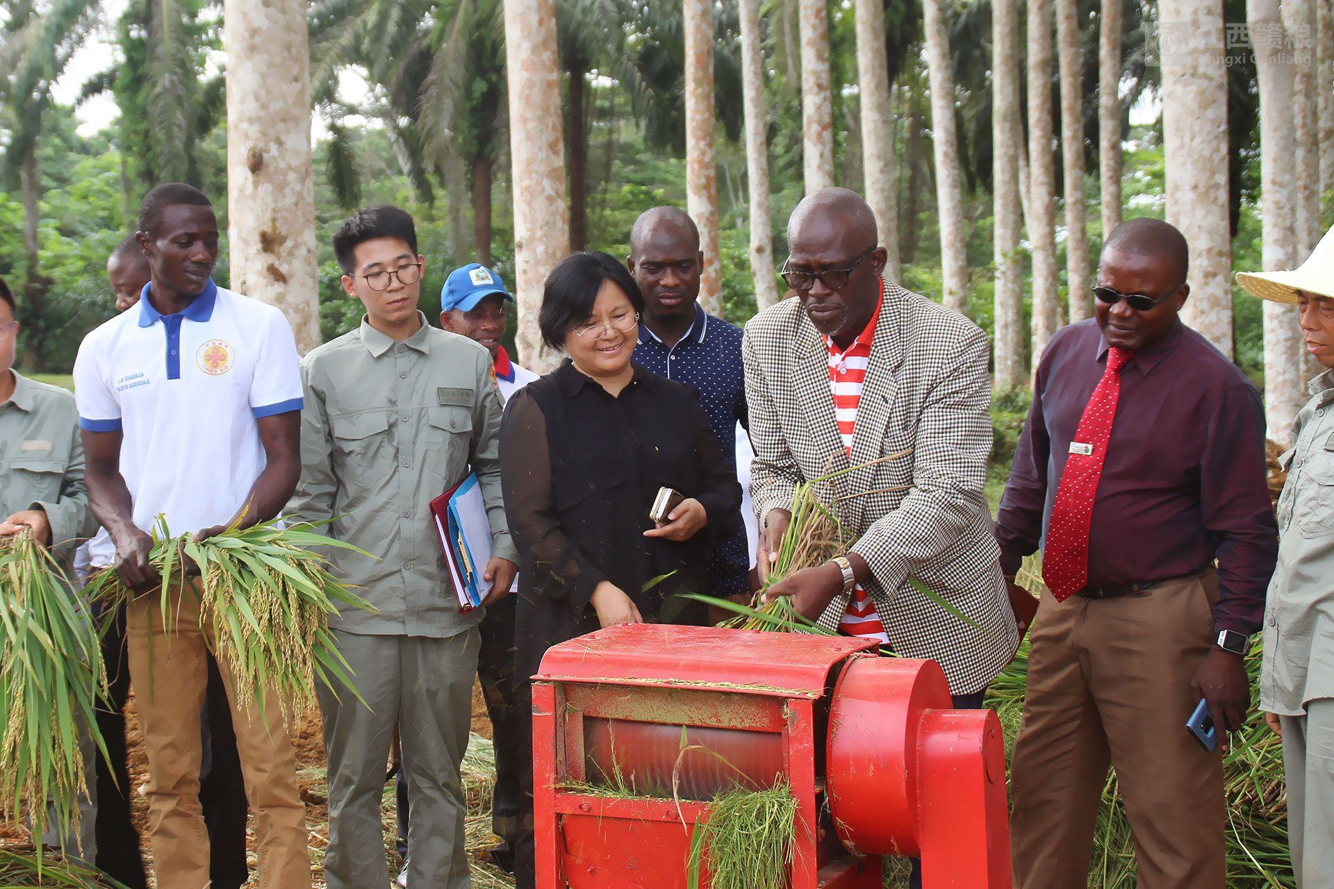 亚博yabo外围app农场水稻开镰测产 结束该国不产水稻的历史